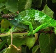 A West Usambara Two-horned Chameleon, Tanzania