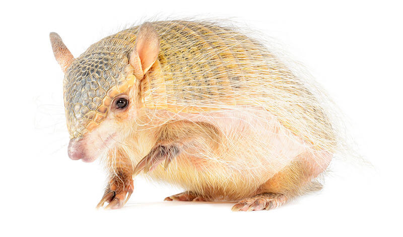 armadillo chillón
