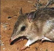 Barred Bandicoot Occidental (Perameles bougainville)