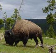 Bisonte, Yellowstone