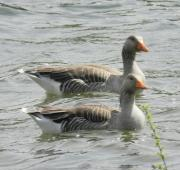 Gansos Greylag, Tattingstone