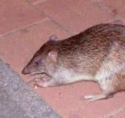 Northern Brown Bandicoot (Isoodon macrourus), Queensland, Australia