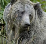 Oso Grizzly (Ursus Arctos Horriblis)