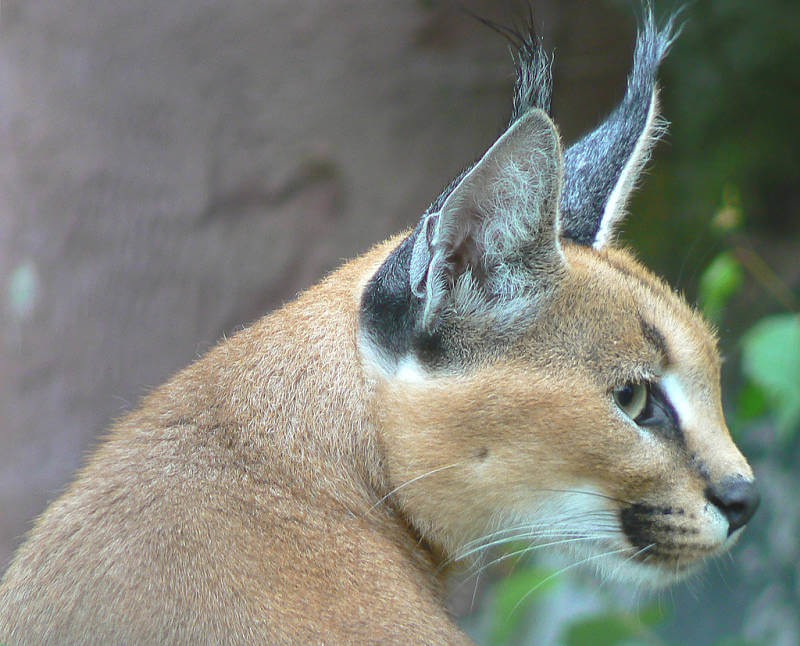 primer plano caracal extremo