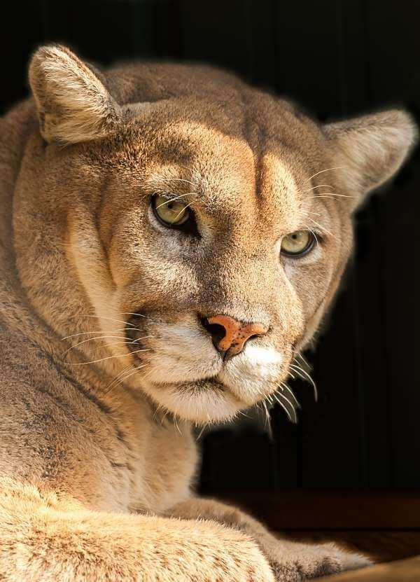 Con qué frecuencia Masacre invierno  Puma