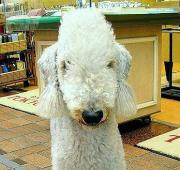 Terrier Bedlington